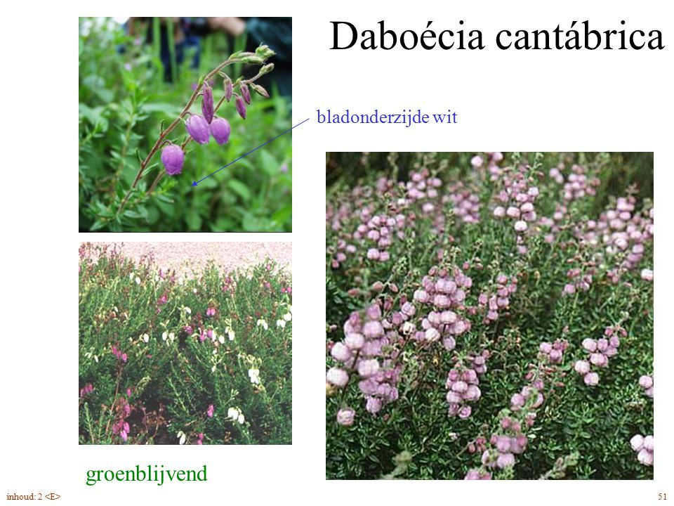 Daboécia cantábrica groenblijvend bladonderzijde wit 51inhoud: 2
