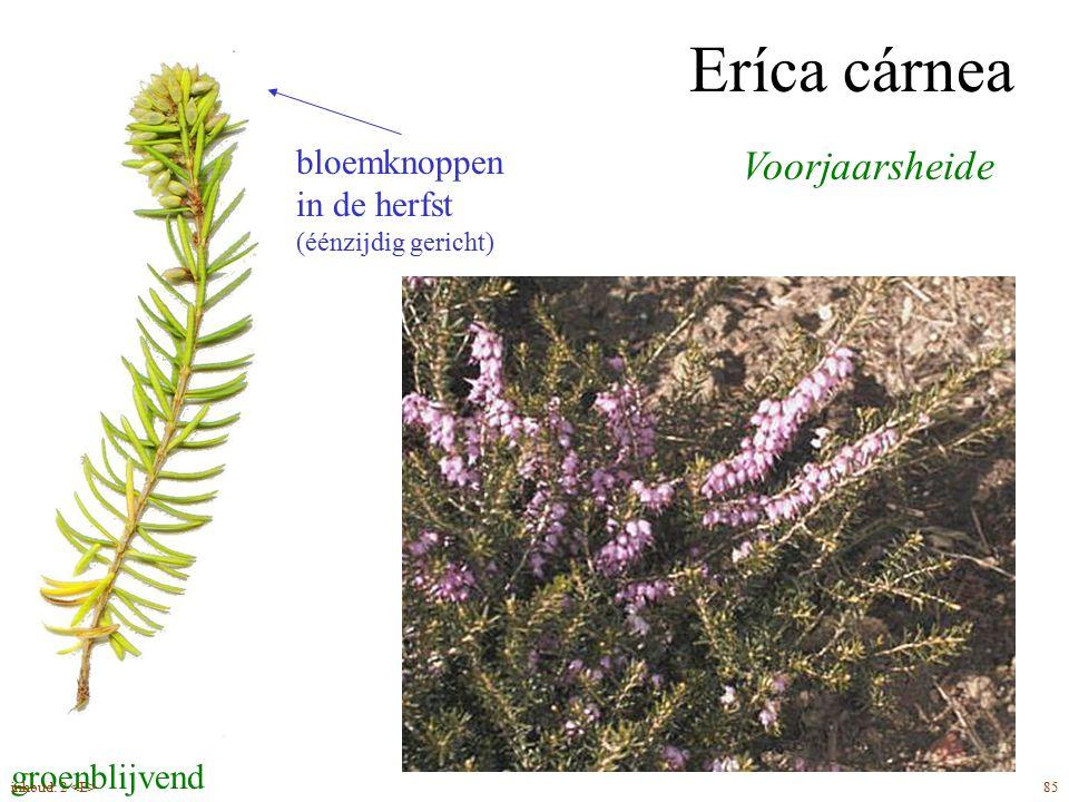 Eríca tetrálix Gewone dopheide eindstandige, éénzijdig gerichte bloemen zomerbloeier wit behaarde bladeren groenblijvend 87inhoud: 2
