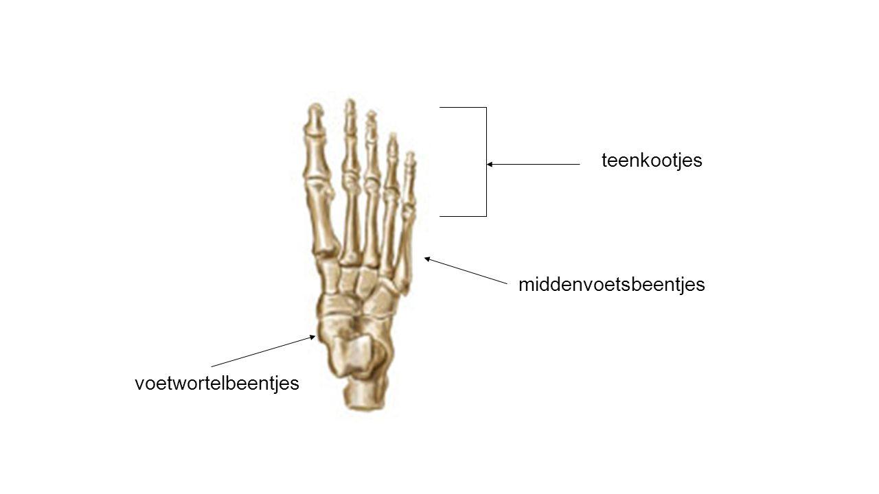 voetwortelbeentjes middenvoetsbeentjes teenkootjes