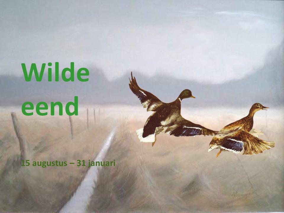 Wilde eend 15 augustus – 31 januari