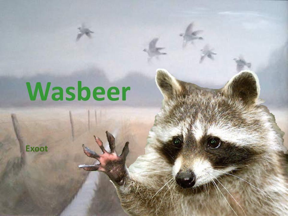 Wasbeer Exoot