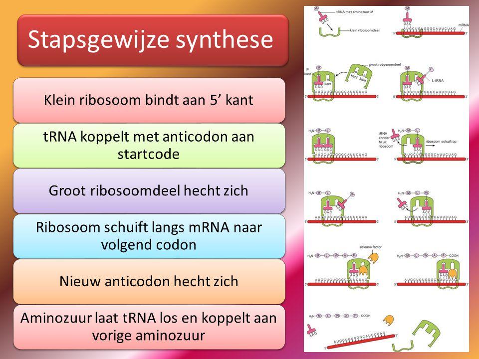 Stapsgewijze synthese Klein ribosoom bindt aan 5' kant tRNA koppelt met anticodon aan startcode Groot ribosoomdeel hecht zich Ribosoom schuift langs mRNA naar volgend codon Nieuw anticodon hecht zich Aminozuur laat tRNA los en koppelt aan vorige aminozuur