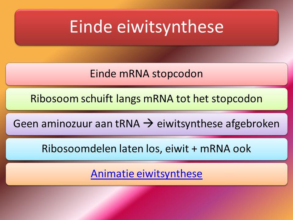 Einde eiwitsynthese Einde mRNA stopcodonRibosoom schuift langs mRNA tot het stopcodonGeen aminozuur aan tRNA  eiwitsynthese afgebrokenRibosoomdelen l