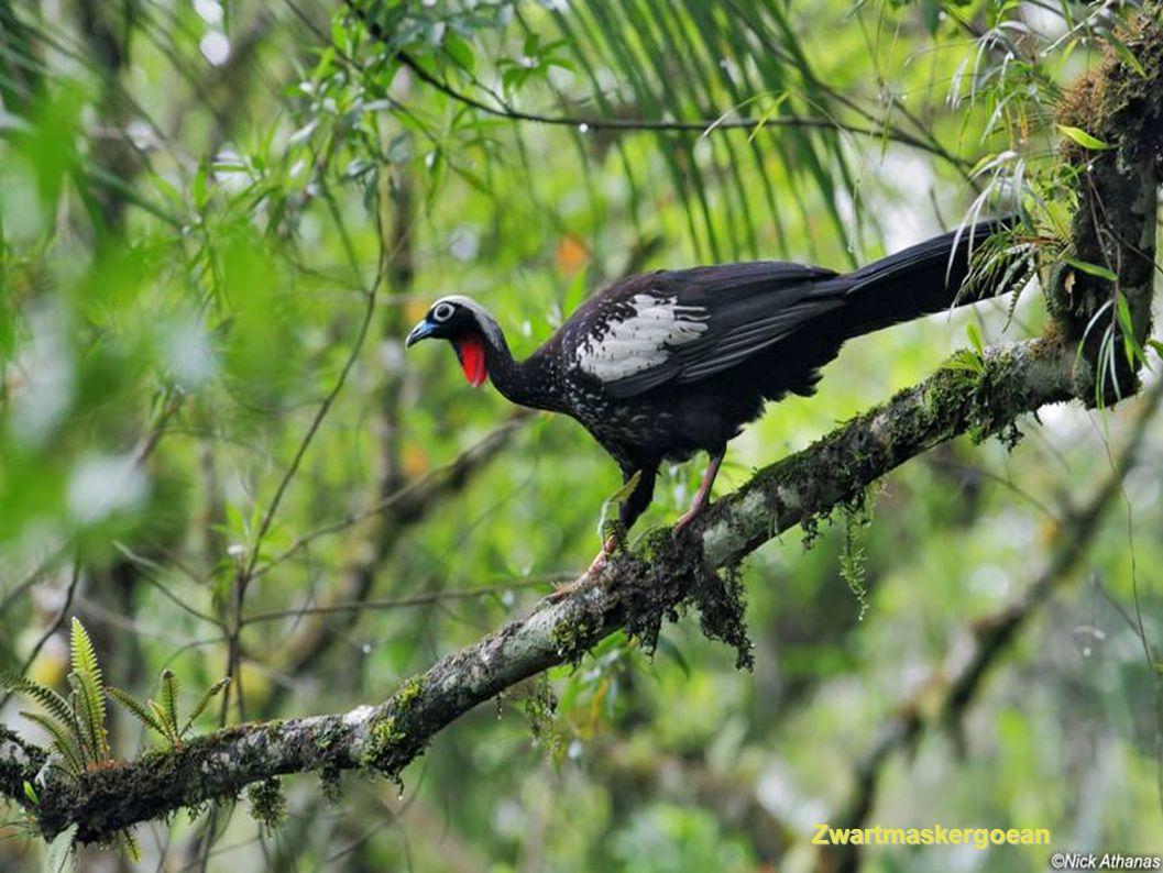 Vulturine Parelhoen