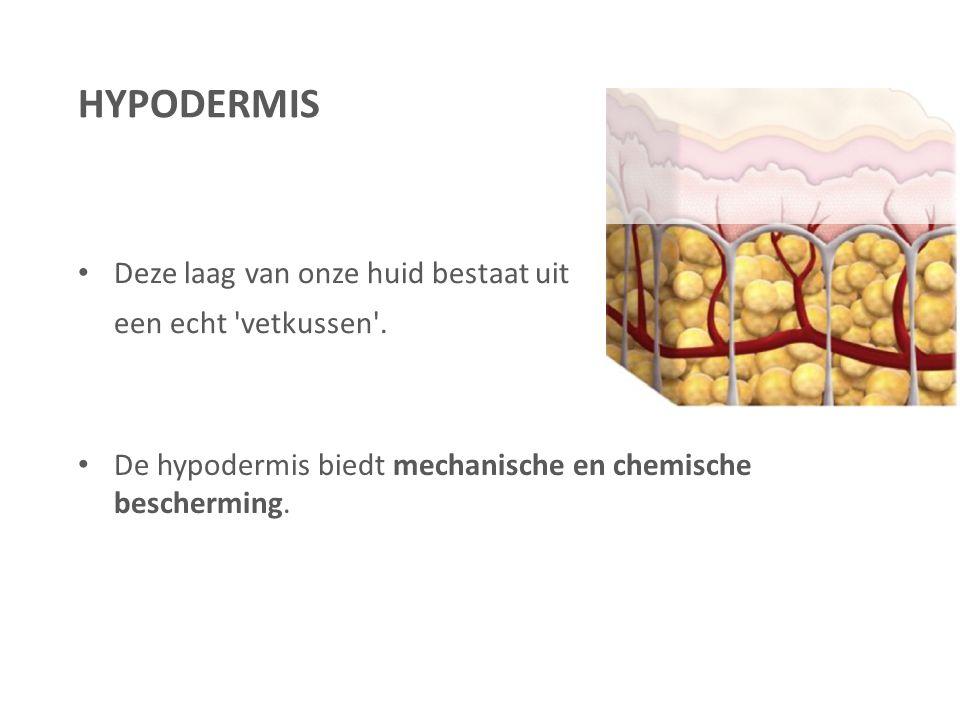 Deze laag van onze huid bestaat uit een echt 'vetkussen'. De hypodermis biedt mechanische en chemische bescherming. HYPODERMIS