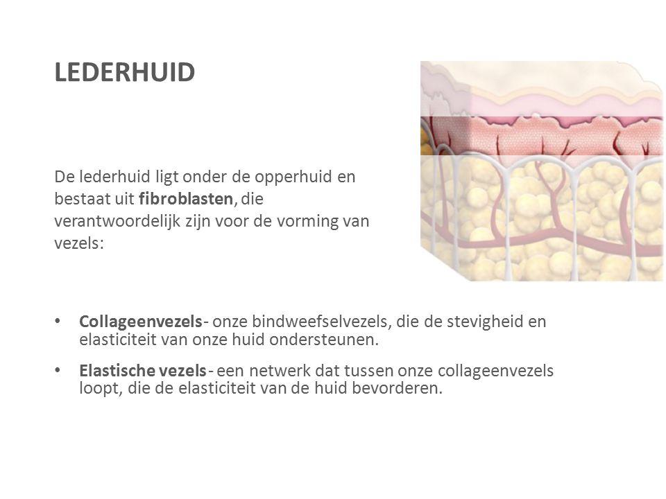 De lederhuid ligt onder de opperhuid en bestaat uit fibroblasten, die verantwoordelijk zijn voor de vorming van vezels: Collageenvezels - onze bindwee