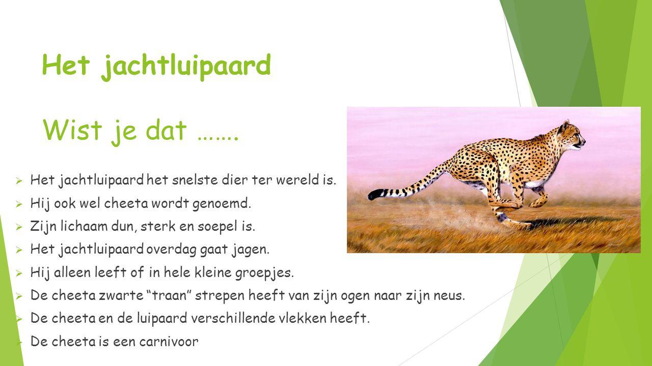 Het jachtluipaard Wist je dat …….  Het jachtluipaard het snelste dier ter wereld is.  Hij ook wel cheeta wordt genoemd.  Zijn lichaam dun, sterk en