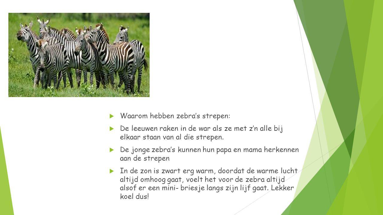  Waarom hebben zebra's strepen:  De leeuwen raken in de war als ze met z'n alle bij elkaar staan van al die strepen.  De jonge zebra's kunnen hun p