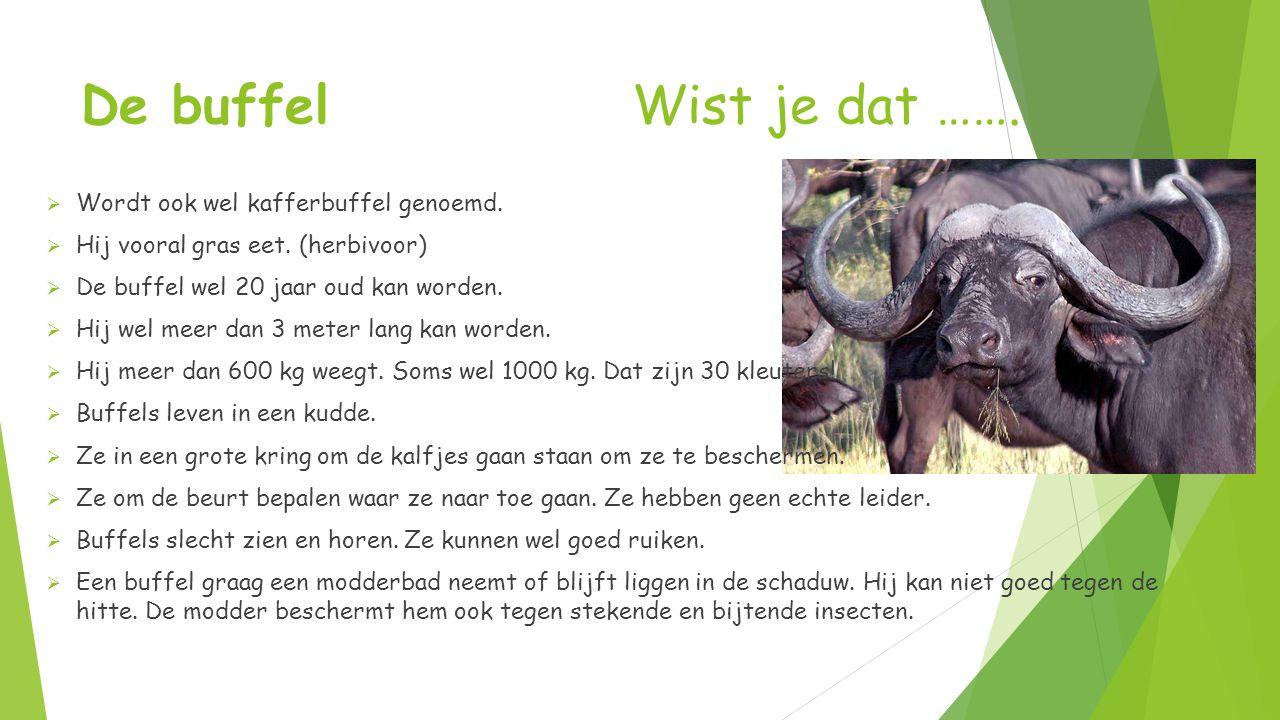 De buffel Wist je dat …….  Wordt ook wel kafferbuffel genoemd.  Hij vooral gras eet. (herbivoor)  De buffel wel 20 jaar oud kan worden.  Hij wel m
