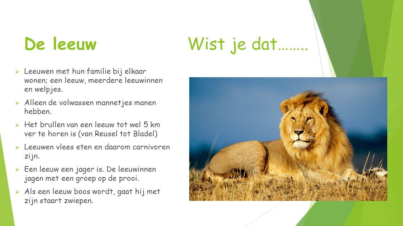 De leeuw Wist je dat……..  Leeuwen met hun familie bij elkaar wonen; een leeuw, meerdere leeuwinnen en welpjes.  Alleen de volwassen mannetjes manen
