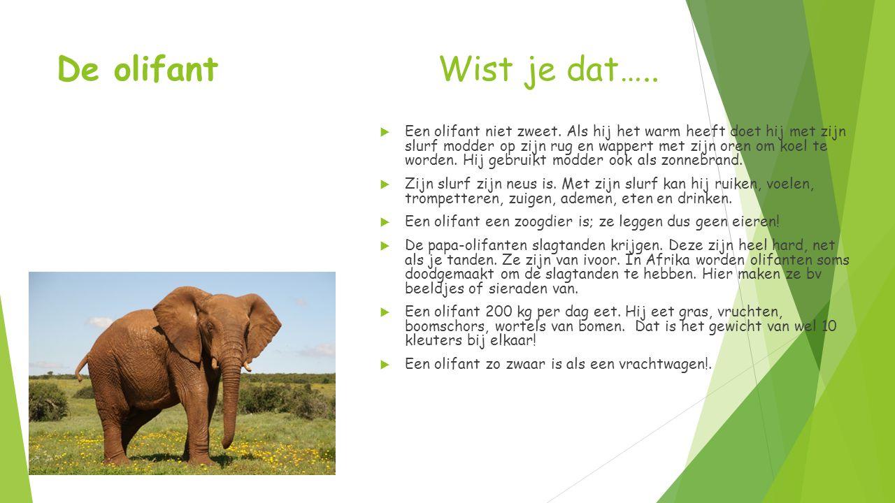 De olifant Wist je dat…..  Een olifant niet zweet. Als hij het warm heeft doet hij met zijn slurf modder op zijn rug en wappert met zijn oren om koel
