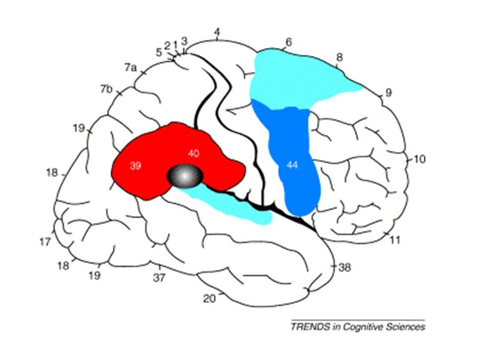 (2) Apperceptieve agnosie speciaal geval: dissociatie tussen perceptie en actie (Goodale et al., 1991) - geval D.F.