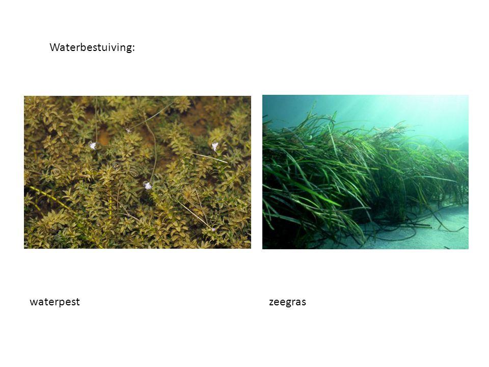 Waterbestuiving: zeegraswaterpest
