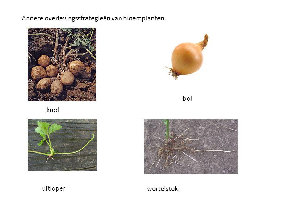 knol bol uitloper wortelstok Andere overlevingsstrategieën van bloemplanten