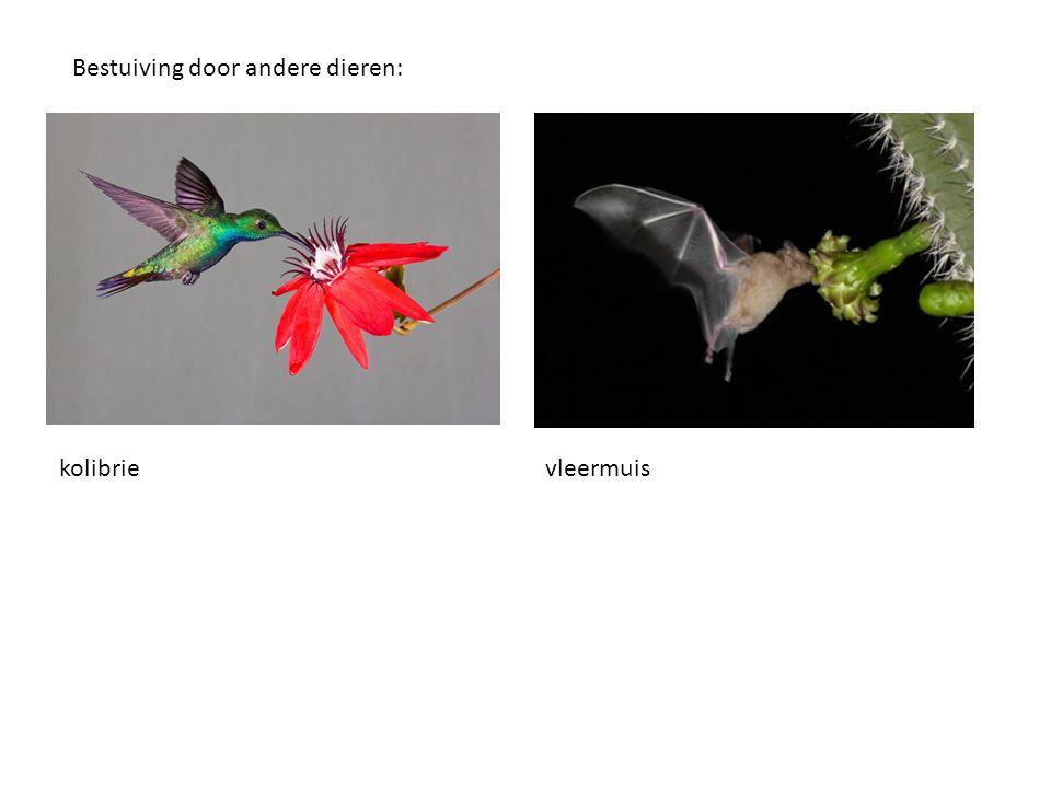 Bestuiving door andere dieren: kolibrievleermuis
