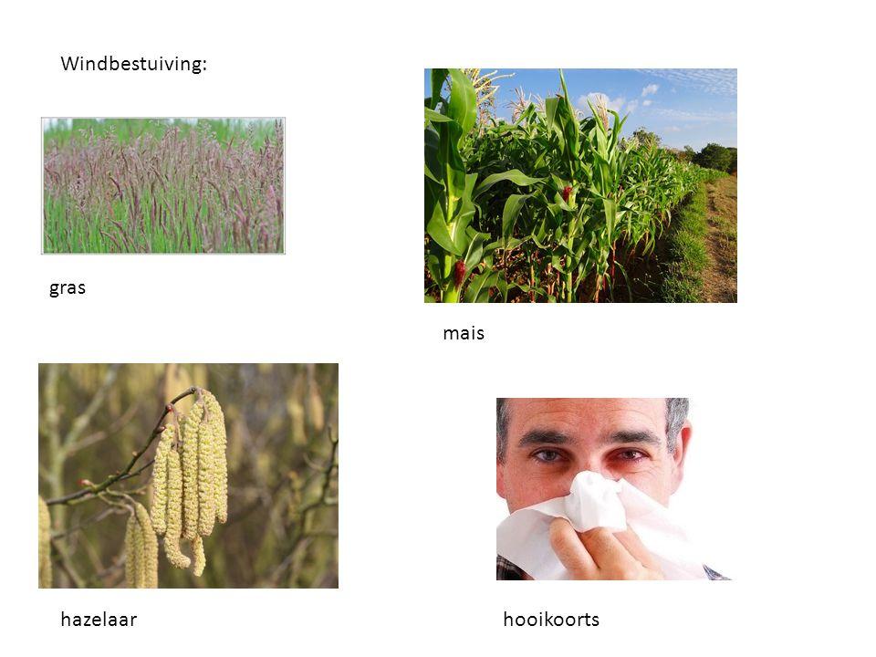 Windbestuiving: gras mais hazelaarhooikoorts