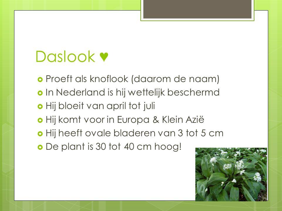 Daslook ♥  Proeft als knoflook (daarom de naam)  In Nederland is hij wettelijk beschermd  Hij bloeit van april tot juli  Hij komt voor in Europa &