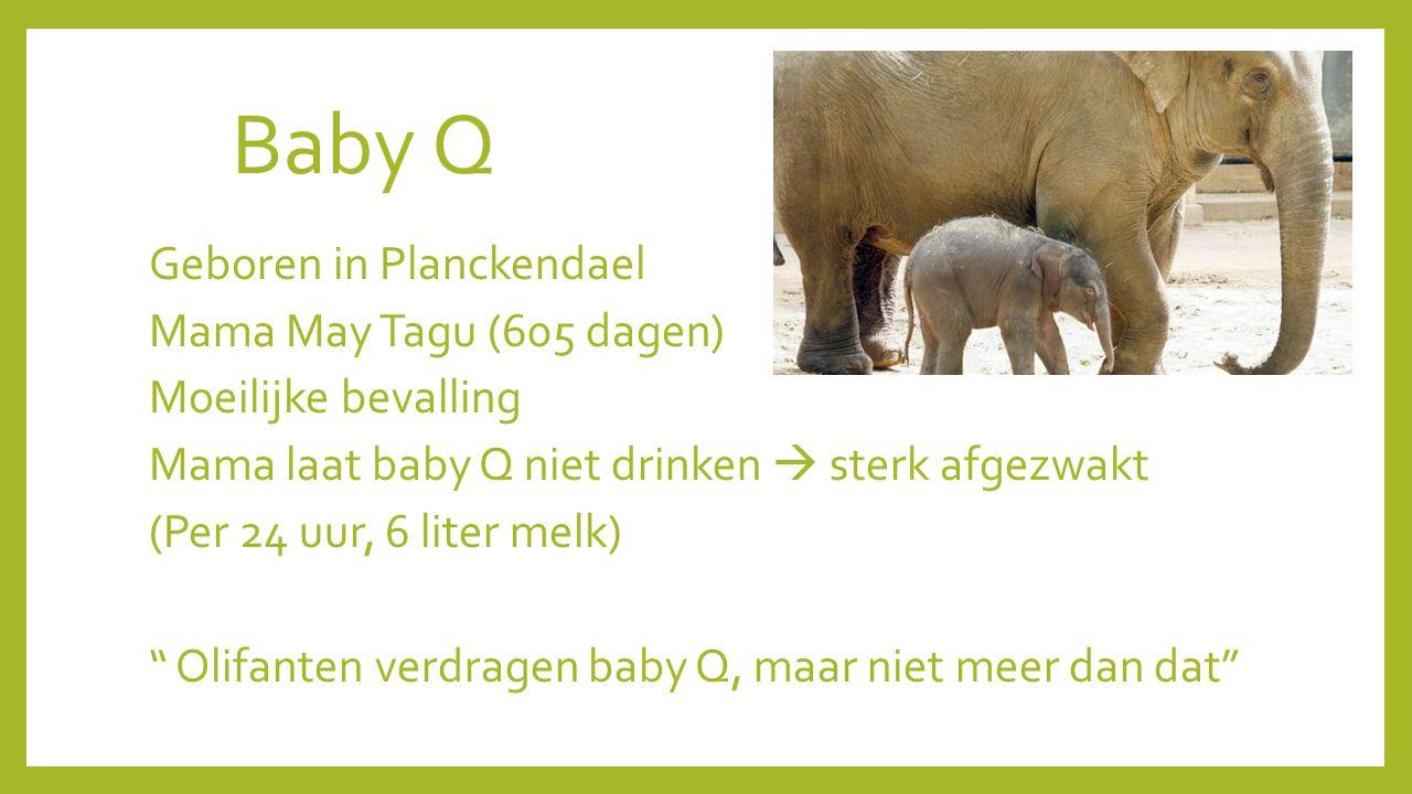 Baby Q Geboren in Planckendael Mama May Tagu (605 dagen) Moeilijke bevalling Mama laat baby Q niet drinken  sterk afgezwakt (Per 24 uur, 6 liter melk