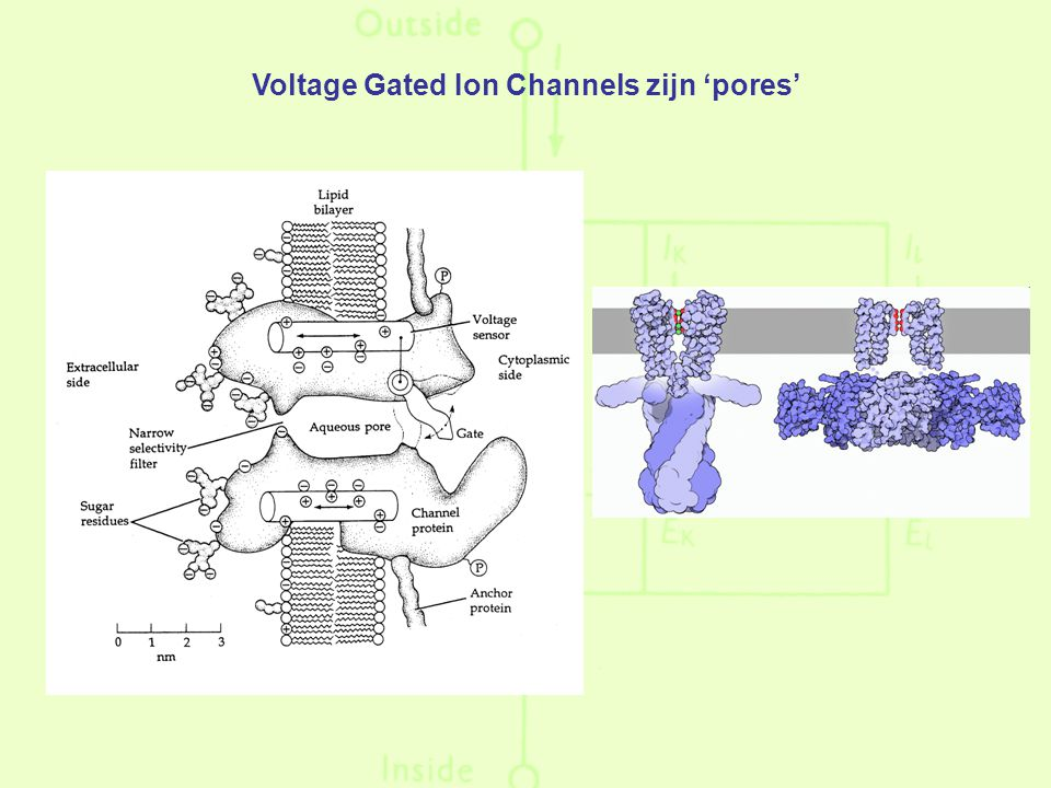 Voltage Gated Ion Channels zijn 'pores'