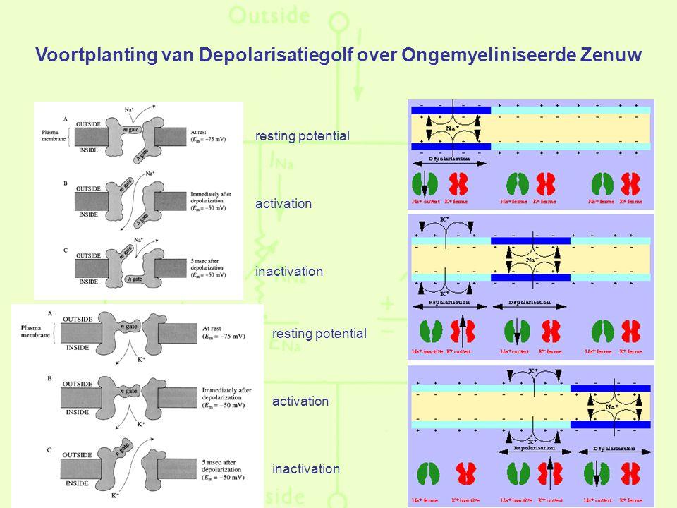 resting potential activation inactivation resting potential activation inactivation Voortplanting van Depolarisatiegolf over Ongemyeliniseerde Zenuw