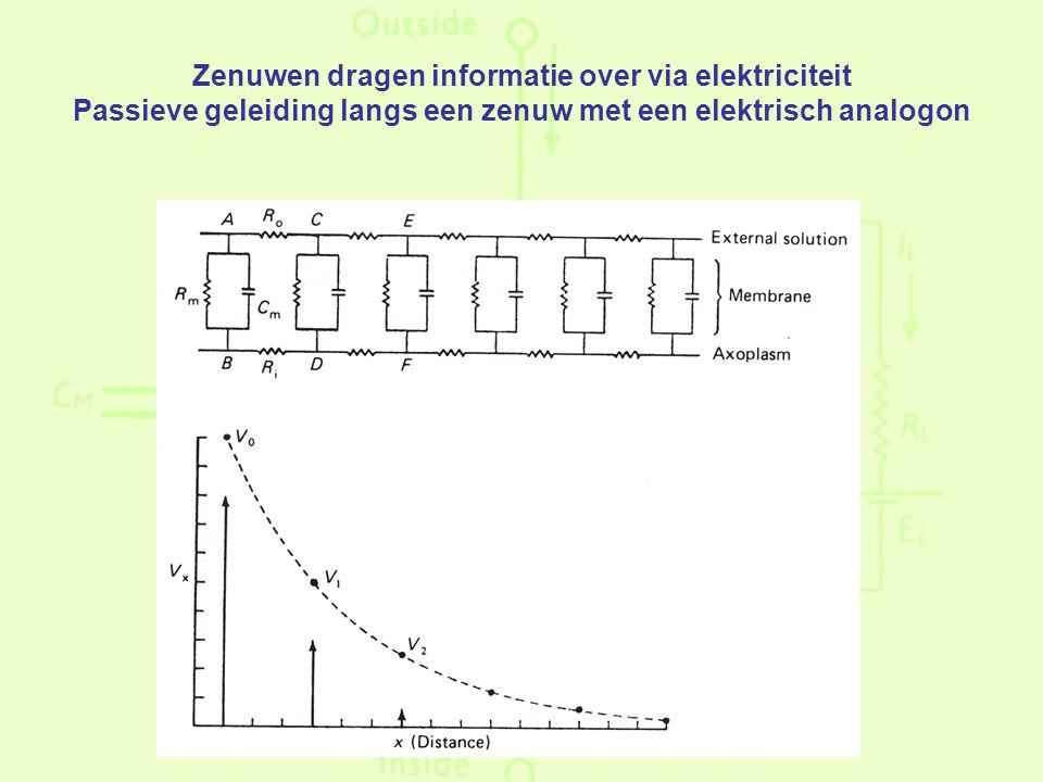 Zenuwen dragen informatie over via elektriciteit Passieve geleiding langs een zenuw met een elektrisch analogon