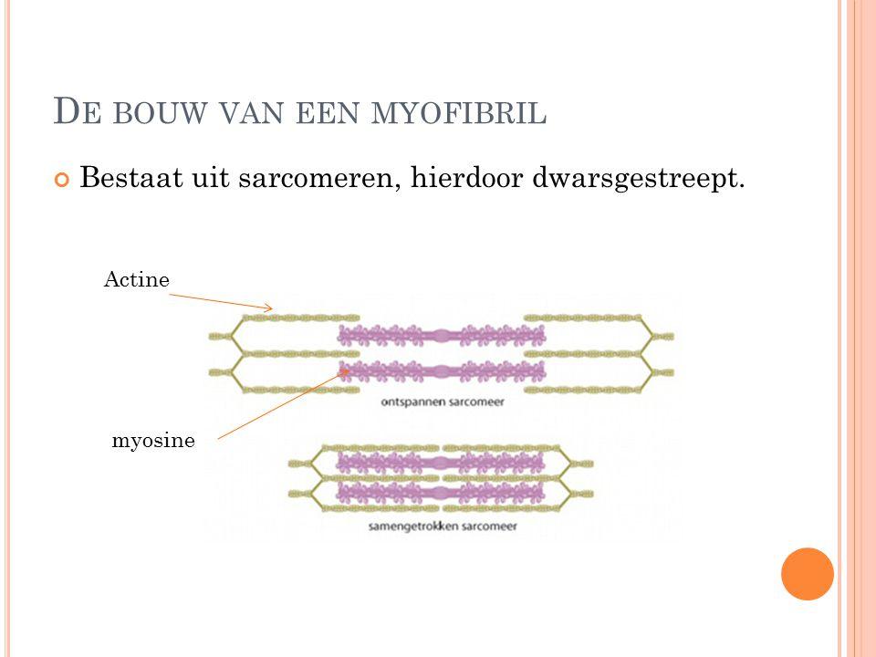 D E BOUW VAN EEN MYOFIBRIL Bestaat uit sarcomeren, hierdoor dwarsgestreept. Actine myosine