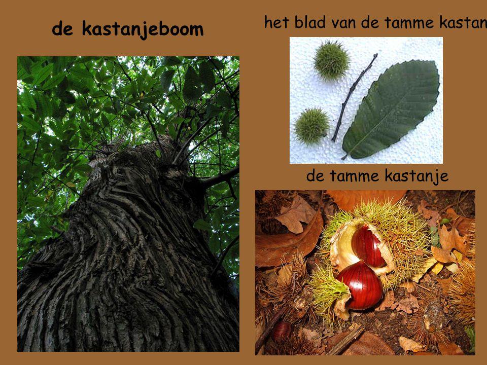 het blad van de tamme kastanje de tamme kastanje de kastanjeboom