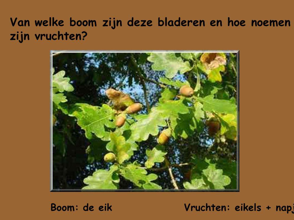 Van welke boom zijn deze bladeren en hoe noemen zijn vruchten? Boom: de eik Vruchten: eikels + napje