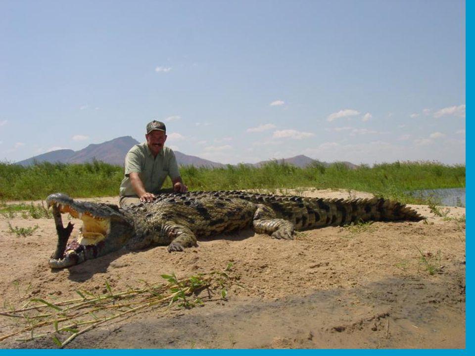 In de binnenwateren zijn Krokodillen niet vies van een hapje mens.