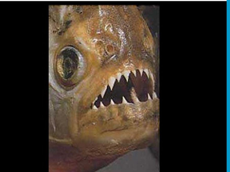 In sommige binnenwateren is het ook opletten voor vraatzuchtige Piranha's.