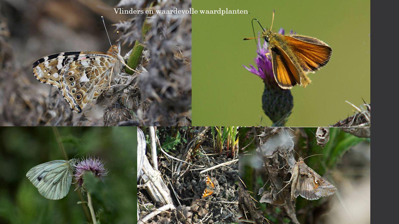 Vlinders en waardevolle waardplanten.