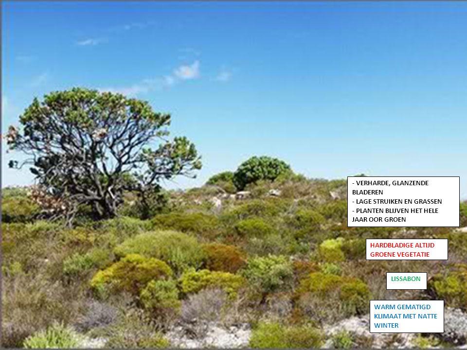 HARDBLADIGE ALTIJD GROENE VEGETATIE LISSABON - VERHARDE, GLANZENDE BLADEREN - LAGE STRUIKEN EN GRASSEN - PLANTEN BLIJVEN HET HELE JAAR OOR GROEN WARM