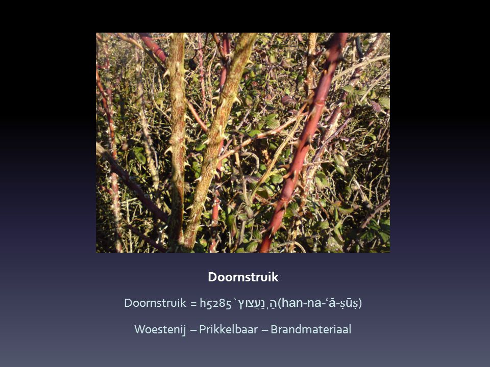 Doornstruik Doornstruik = h5285 הַֽנַּעֲצוּץ ֙ (han-na-' ă - ṣ ū ṣ ) Woestenij – Prikkelbaar – Brandmateriaal