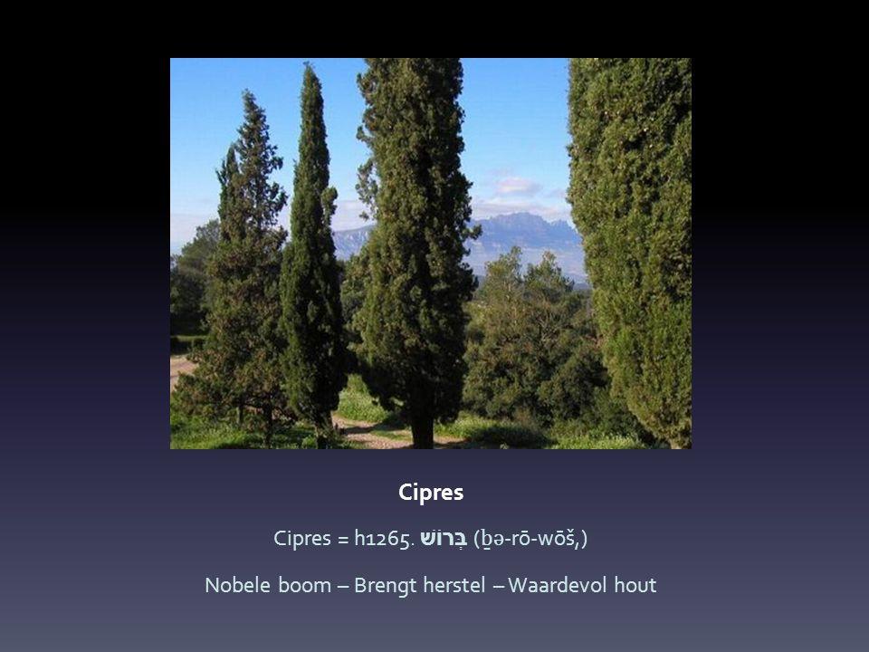 Cipres Cipres = h1265. בְּרוֹשׁ ( ḇ ə -rō-wōš,) Nobele boom – Brengt herstel – Waardevol hout