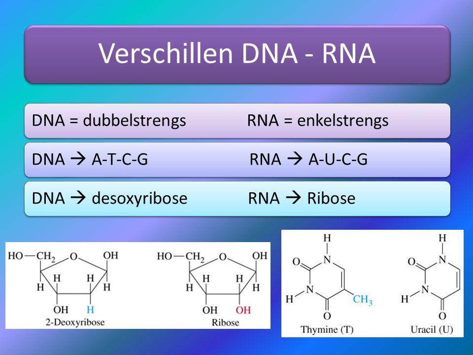 Van transcriptie naar translatie mRNA verlaat de celkern mRNA wordt afgelezen door ribosoom Ribosoom vertaalt informatie naar synthese eiwit Dat proces heet translatie