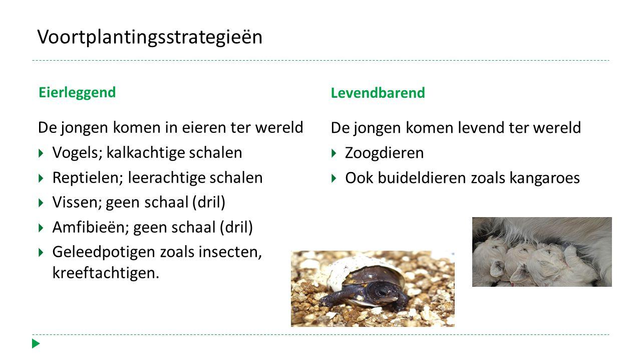 Voortplantingsstrategieën Eierleggend De jongen komen in eieren ter wereld  Vogels; kalkachtige schalen  Reptielen; leerachtige schalen  Vissen; ge