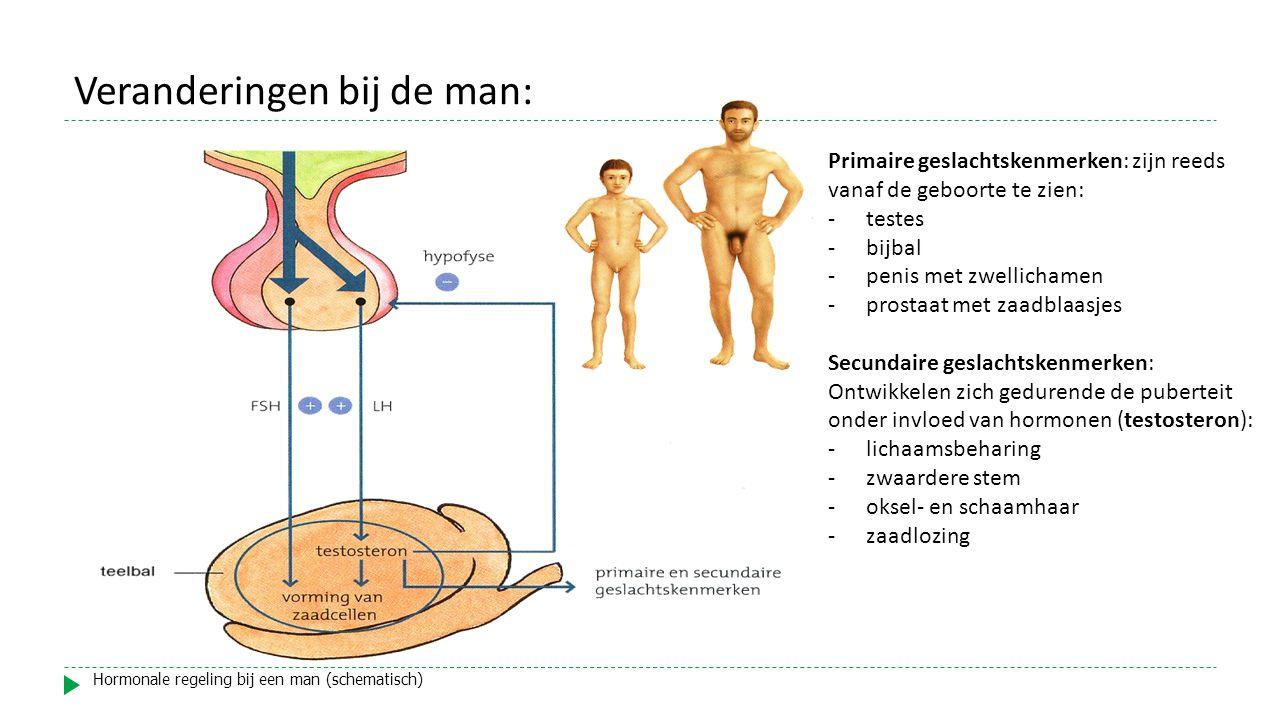 Primaire geslachtskenmerken: zijn reeds vanaf de geboorte te zien: -testes -bijbal -penis met zwellichamen -prostaat met zaadblaasjes Secundaire geslachtskenmerken: Ontwikkelen zich gedurende de puberteit onder invloed van hormonen (testosteron): -lichaamsbeharing -zwaardere stem -oksel- en schaamhaar -zaadlozing Hormonale regeling bij een man (schematisch) Veranderingen bij de man: