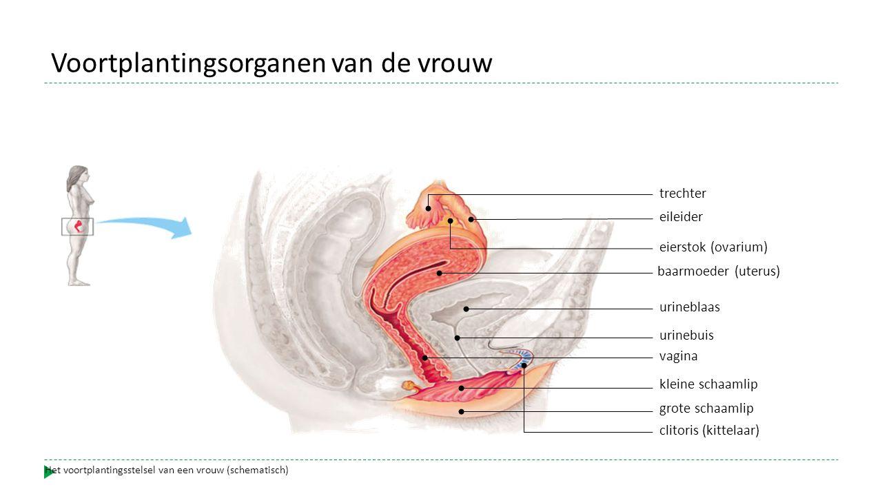 baarmoeder (uterus) eileider eierstok (ovarium) trechter urineblaas urinebuis vagina kleine schaamlip grote schaamlip clitoris (kittelaar) Het voortplantingsstelsel van een vrouw (schematisch) Voortplantingsorganen van de vrouw