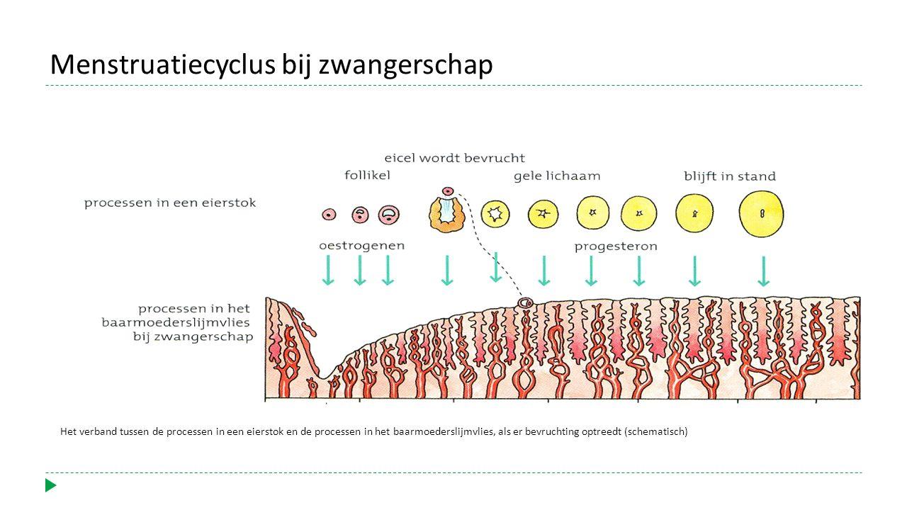 Het verband tussen de processen in een eierstok en de processen in het baarmoederslijmvlies, als er bevruchting optreedt (schematisch) Menstruatiecycl