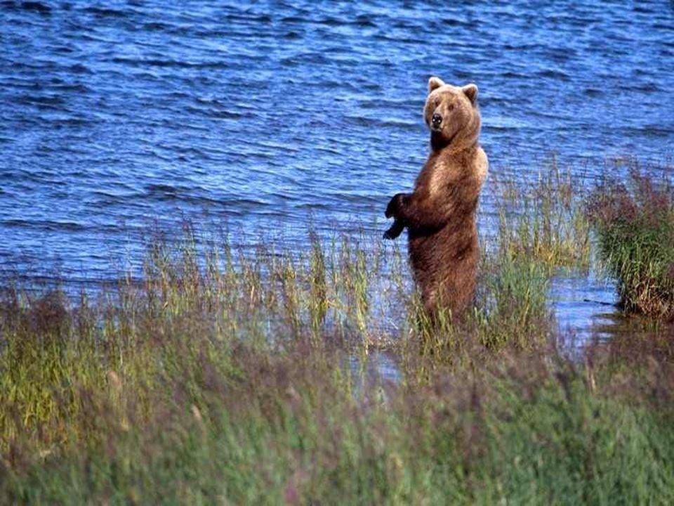 De specialisten schatten het aantal diersoorten in Alaska op 1.000, waarvan 115 soorten zoogdieren en 400 soorten vogels.