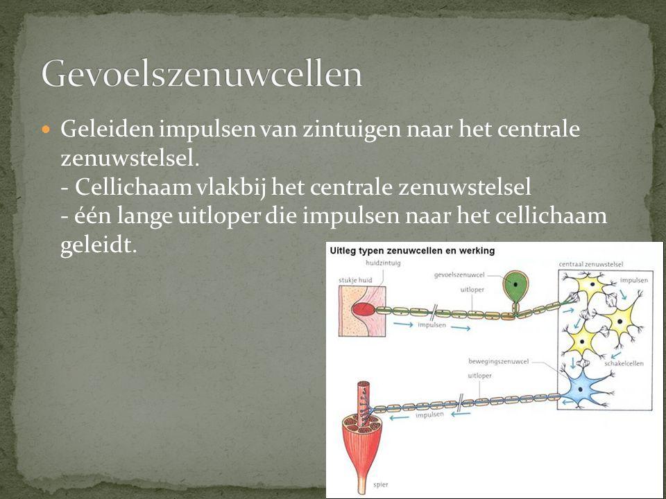 Geleiden impulsen van zintuigen naar het centrale zenuwstelsel. - Cellichaam vlakbij het centrale zenuwstelsel - één lange uitloper die impulsen naar