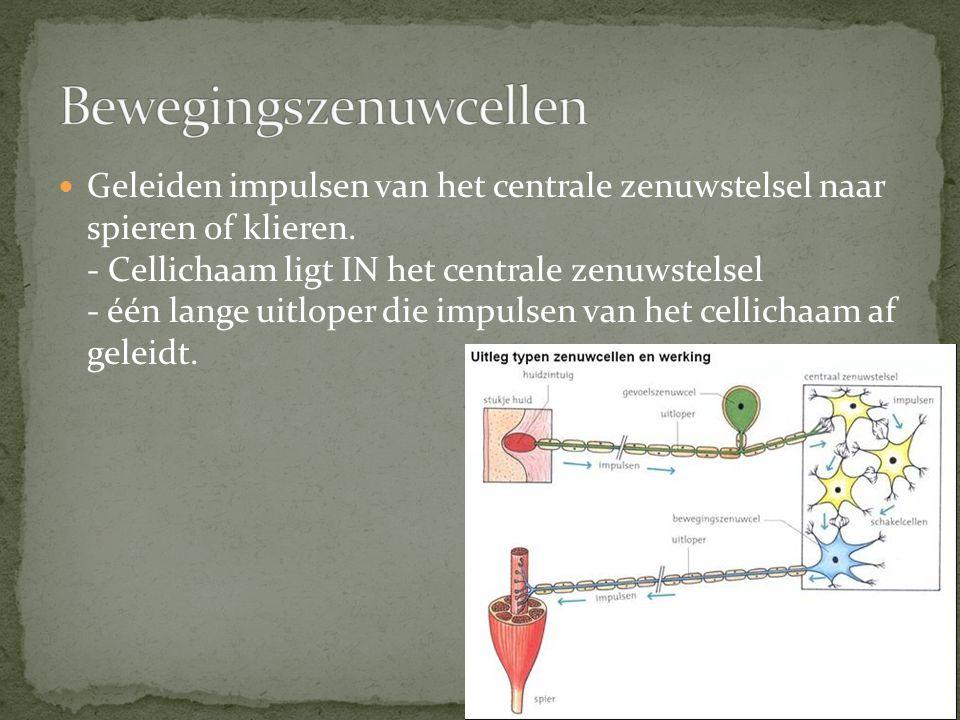 Geleiden impulsen van het centrale zenuwstelsel naar spieren of klieren. - Cellichaam ligt IN het centrale zenuwstelsel - één lange uitloper die impul