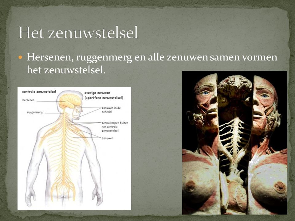 Hersenen, ruggenmerg en alle zenuwen samen vormen het zenuwstelsel.