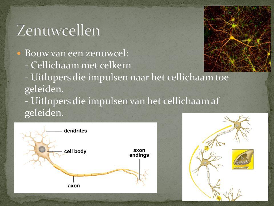Bouw van een zenuwcel: - Cellichaam met celkern - Uitlopers die impulsen naar het cellichaam toe geleiden. - Uitlopers die impulsen van het cellichaam