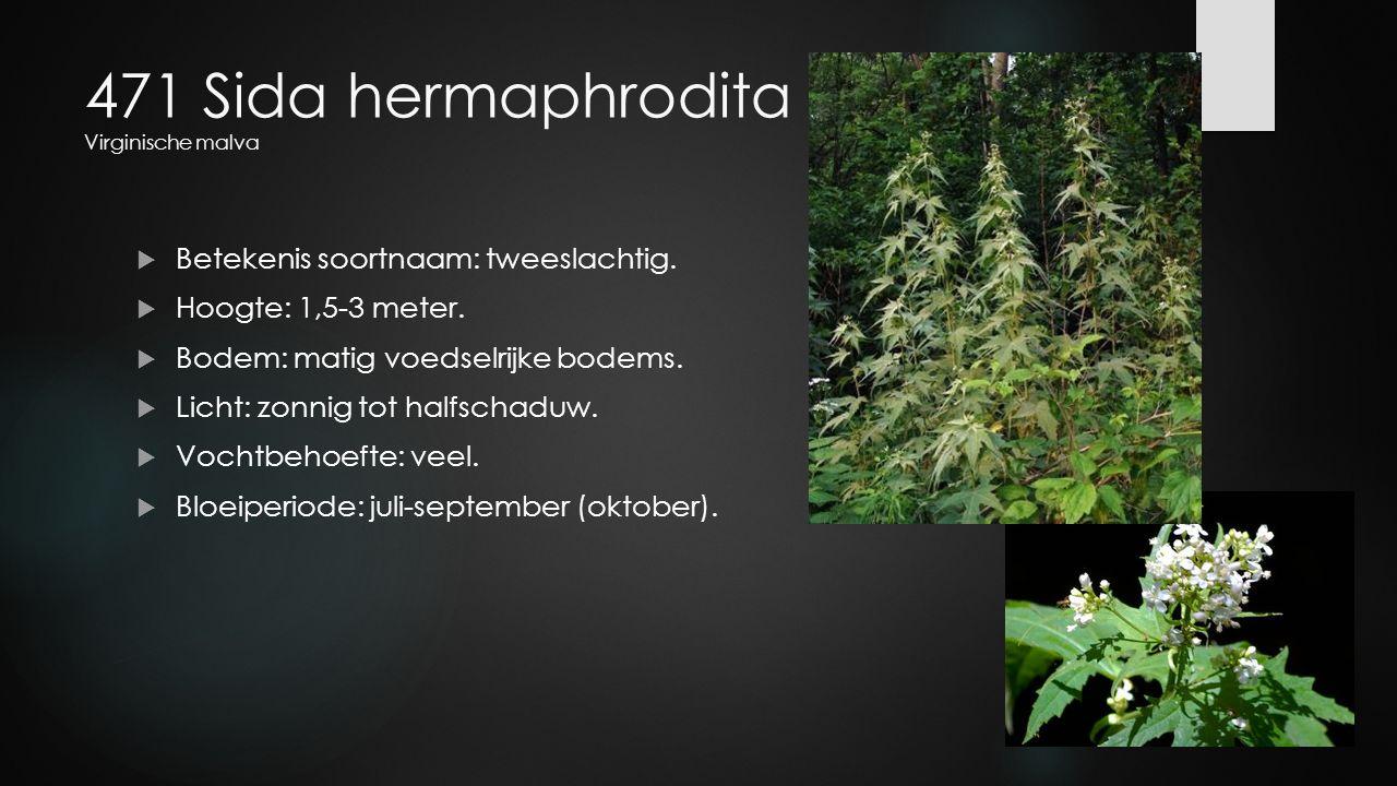 471 Sida hermaphrodita Virginische malva  Betekenis soortnaam: tweeslachtig.  Hoogte: 1,5-3 meter.  Bodem: matig voedselrijke bodems.  Licht: zonn