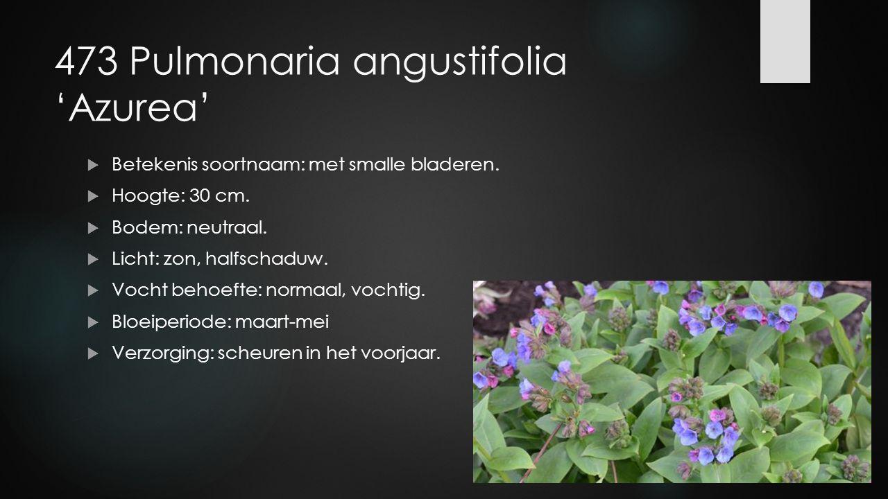 473 Pulmonaria angustifolia 'Azurea'  Betekenis soortnaam: met smalle bladeren.  Hoogte: 30 cm.  Bodem: neutraal.  Licht: zon, halfschaduw.  Voch