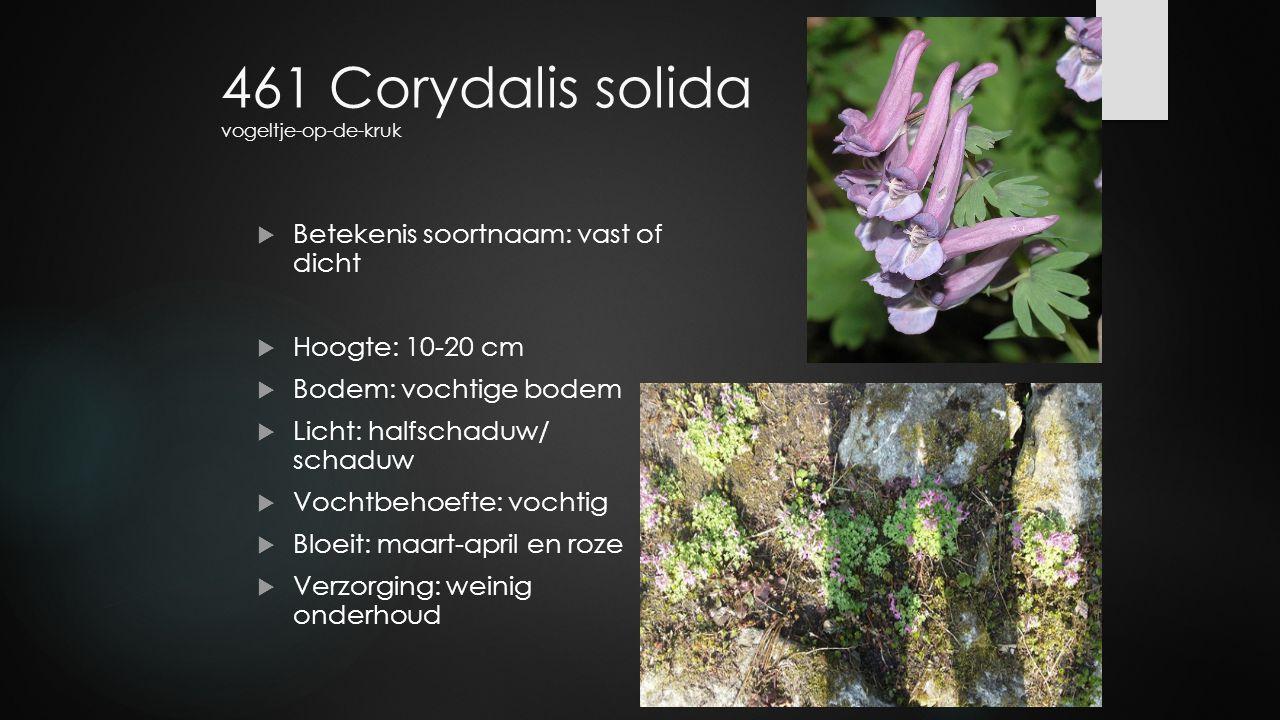 461 Corydalis solida vogeltje-op-de-kruk  Betekenis soortnaam: vast of dicht  Hoogte: 10-20 cm  Bodem: vochtige bodem  Licht: halfschaduw/ schaduw