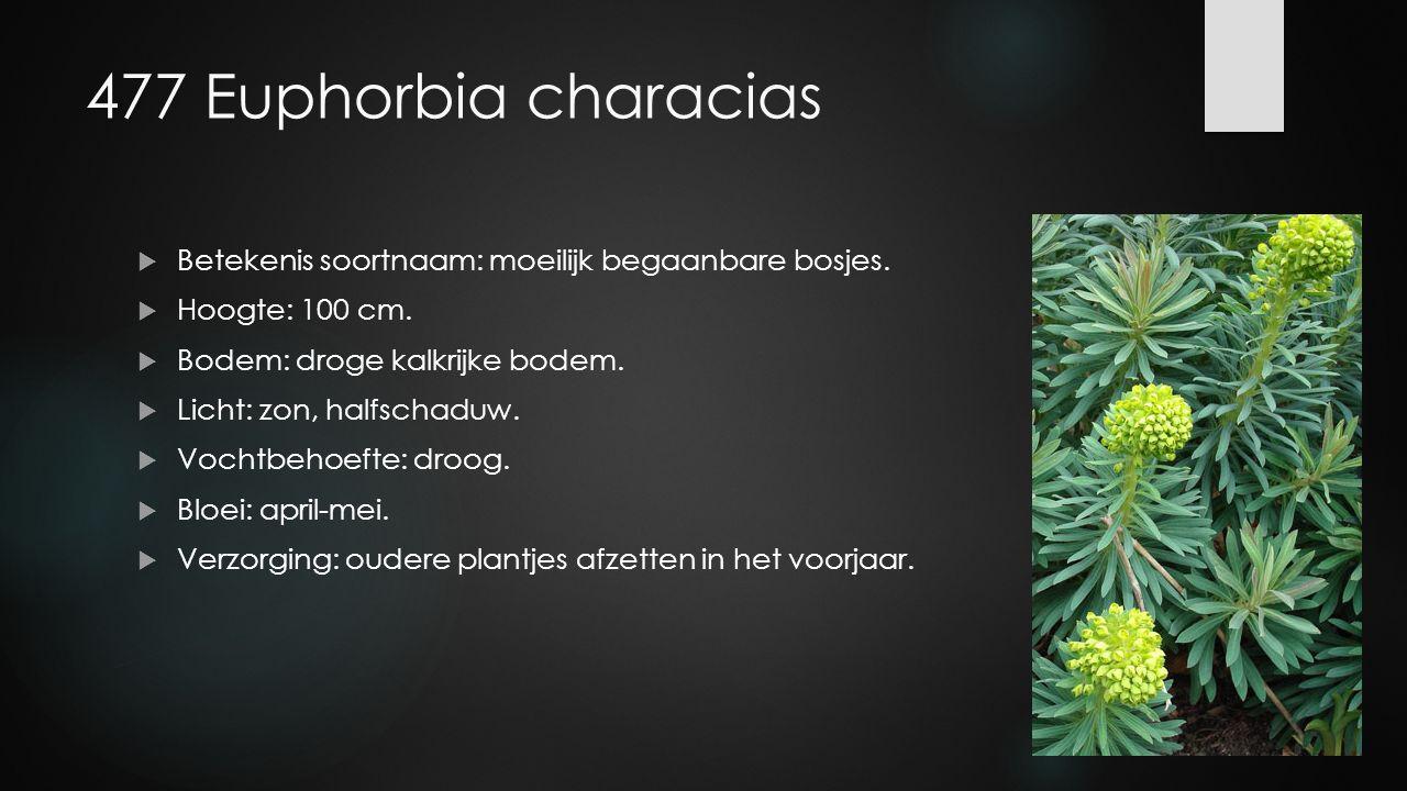477 Euphorbia characias  Betekenis soortnaam: moeilijk begaanbare bosjes.  Hoogte: 100 cm.  Bodem: droge kalkrijke bodem.  Licht: zon, halfschaduw