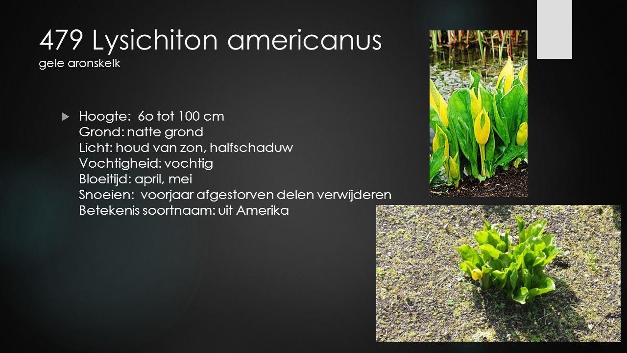 479 Lysichiton americanus gele aronskelk  Hoogte: 6o tot 100 cm Grond: natte grond Licht: houd van zon, halfschaduw Vochtigheid: vochtig Bloeitijd: a