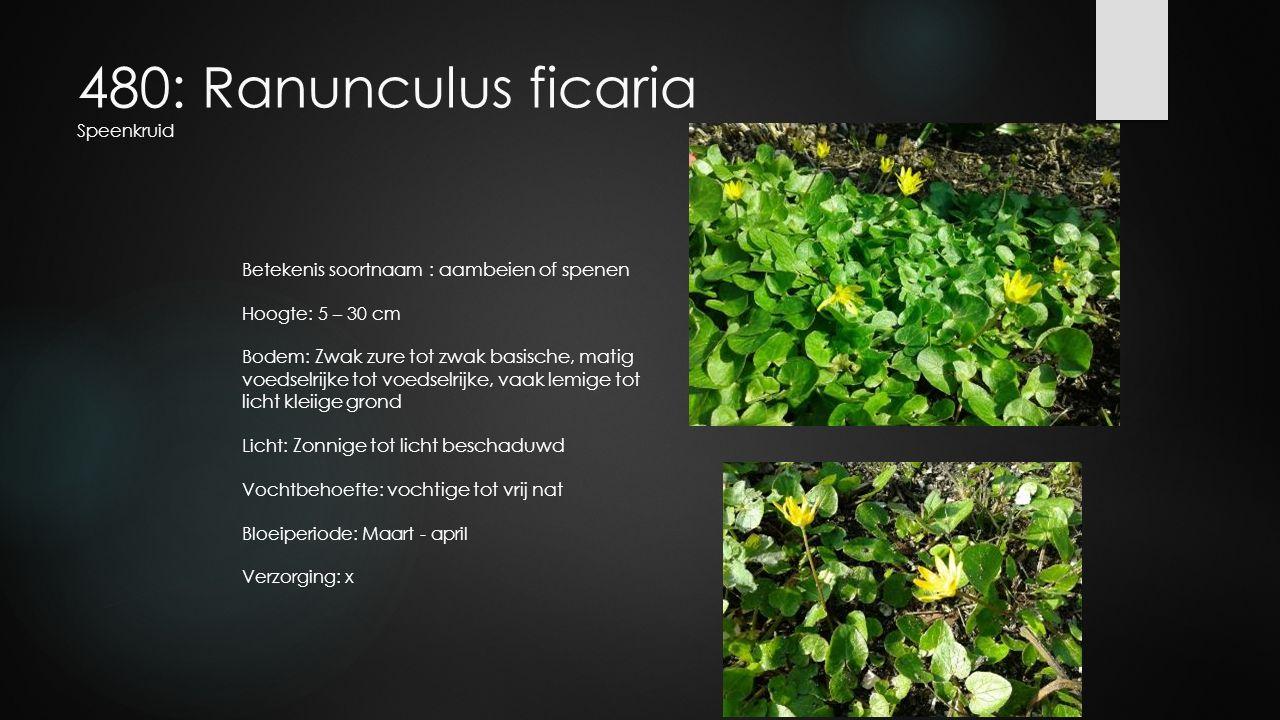 480: Ranunculus ficaria Speenkruid Betekenis soortnaam : aambeien of spenen Hoogte: 5 – 30 cm Bodem: Zwak zure tot zwak basische, matig voedselrijke t